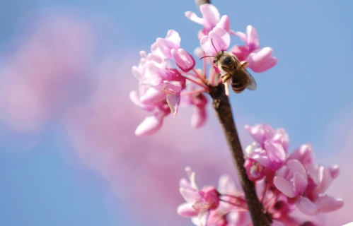 Honey bee likes the red bud tree
